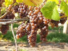 http://blog.vino.hr/wp-content/uploads/2011/03/Pinot-gris.jpg